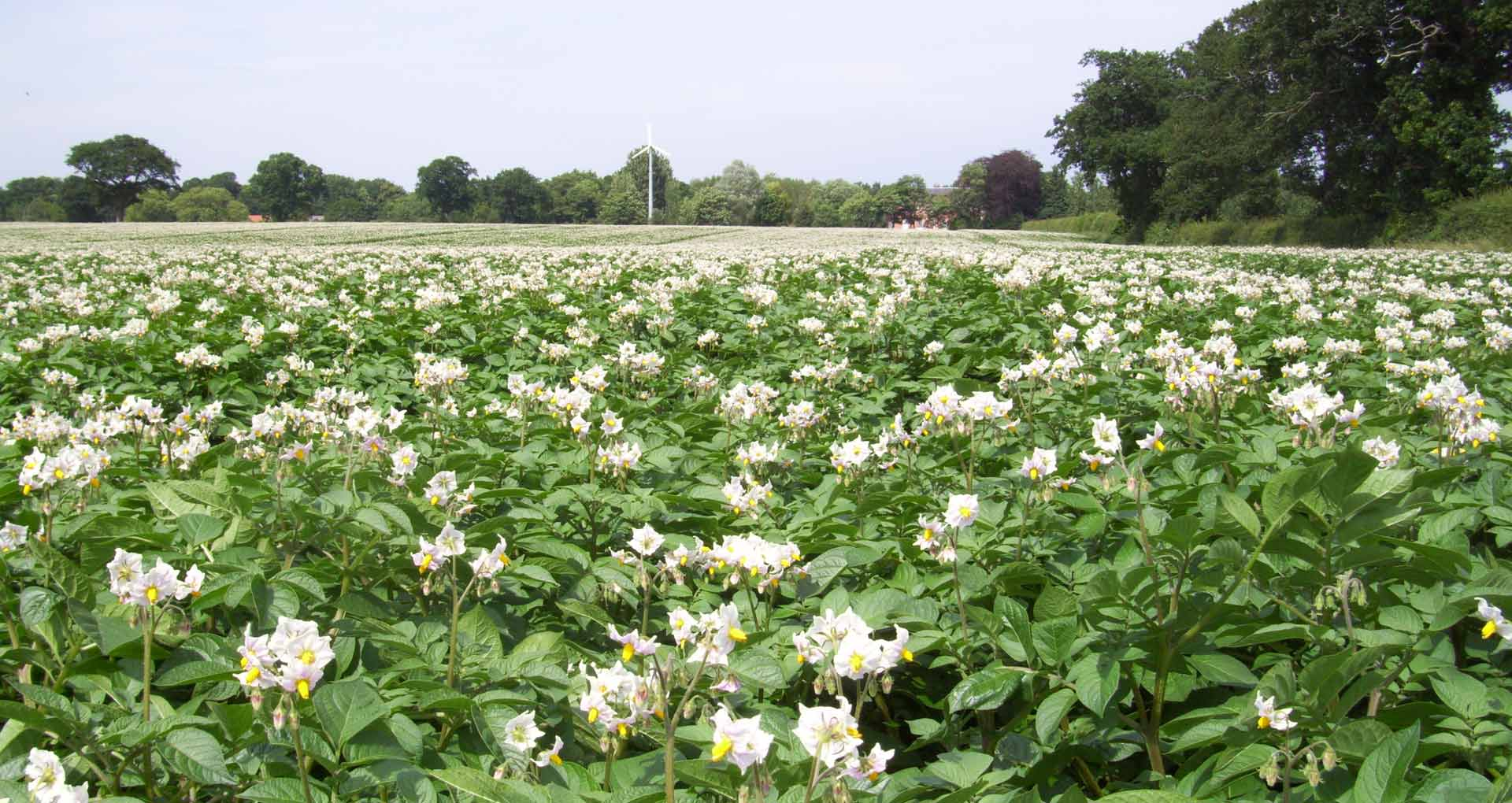 Desiree Potato In Flower